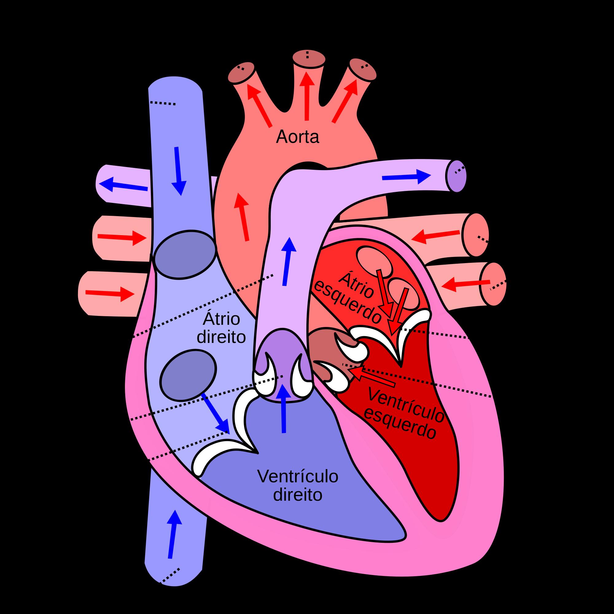 o que é coração miocárdio