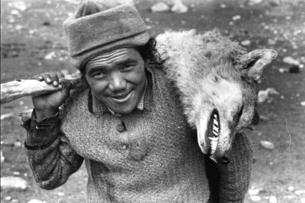 caça aos lobos