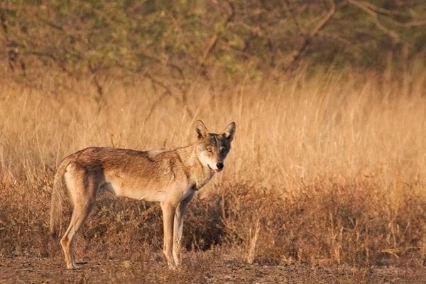 lobo árabe espécie