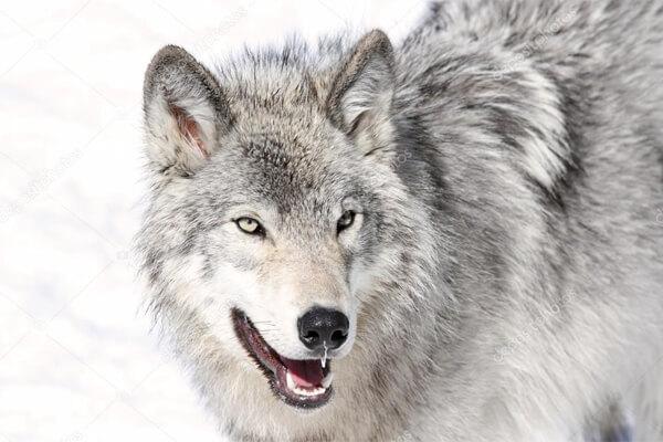 lobo cinzento espécie