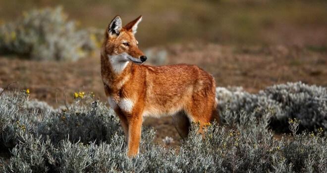 lobo vermelho espécie
