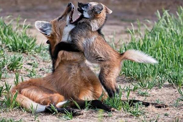 reprodução dos lobos