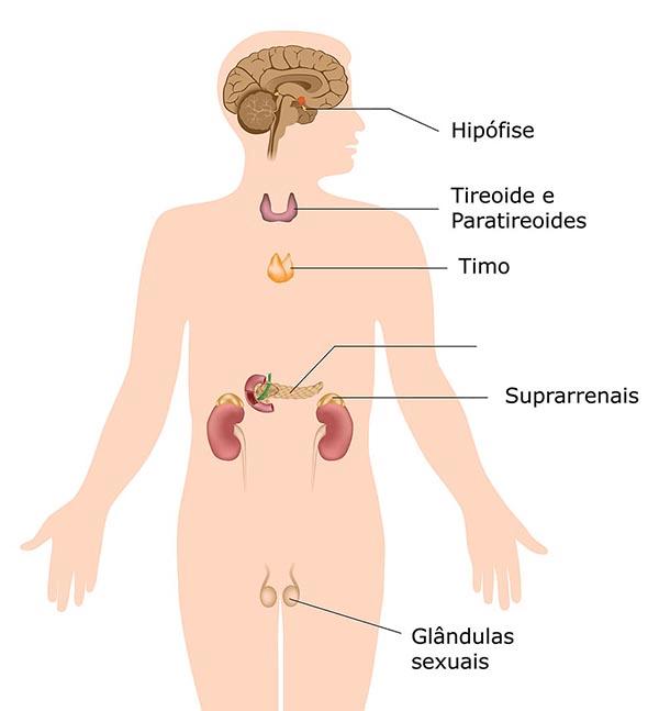 órgãos do sistema endócrino