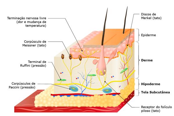 órgãos do sistema tangumentar