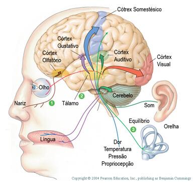 órgãos do sistema sensorial