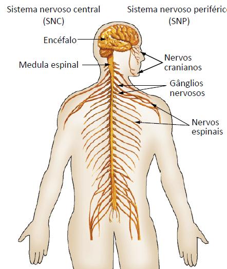 desenho do sistema nervoso