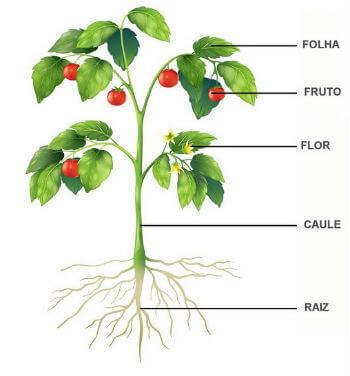 Reino Plantae: Organização, Como Funciona e Divisões
