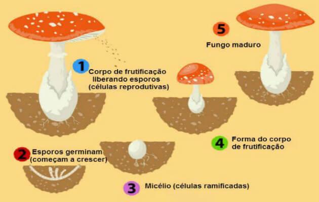 Reino Fungi: o que é, principais características e mais