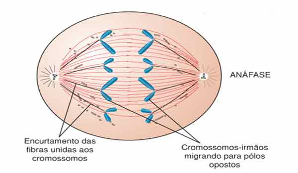 anáfase mitose