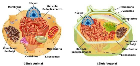 Célula animal: componentes, funções e diferenças da vegetal