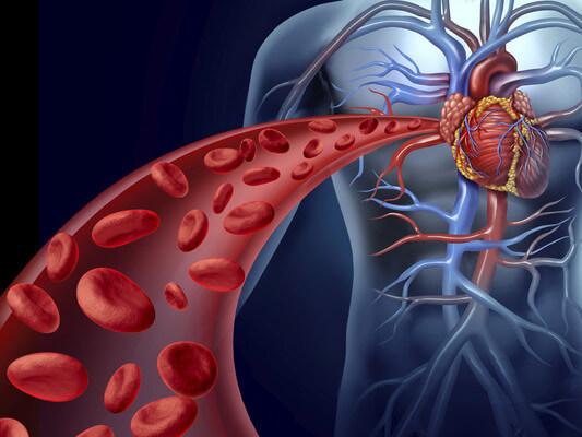 Função o humano do cardiovascular é não uma que sistema