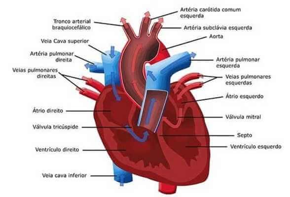 Sistema cardiovascular3
