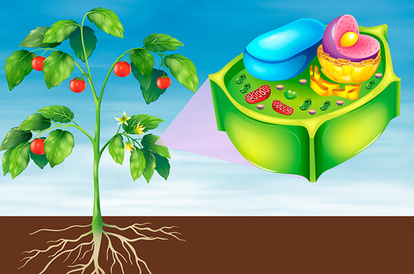 Vegetal célula