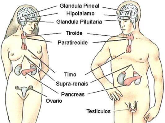 Glândulas