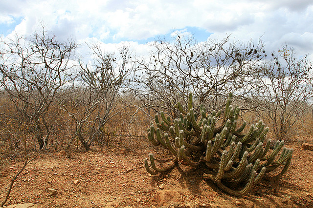 Caatinga Nordestina