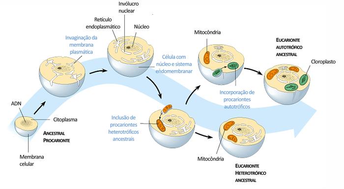 Como funciona a endossimbiose