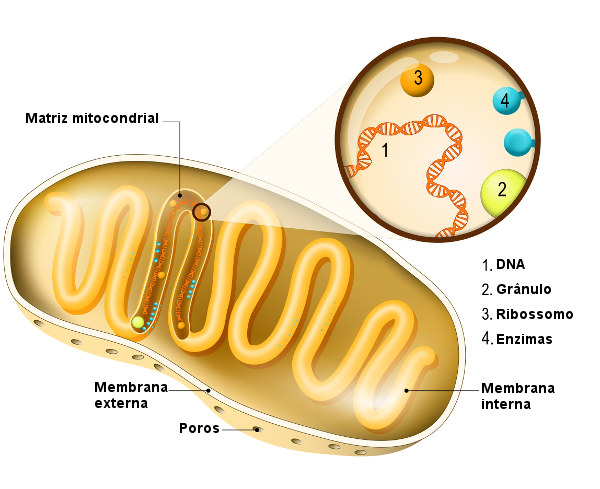 Como é a mitocôndria